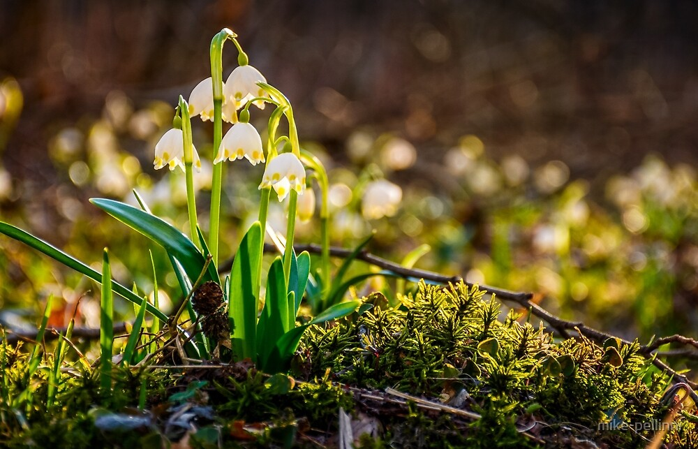 snowflake, first flowers of spring by mike-pellinni