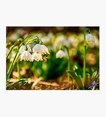bee gathering pollen from snowflake, first flowers of spring Photographic Print
