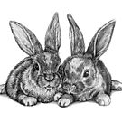 Bunnies - Pencil drawing by Rachelle Dyer