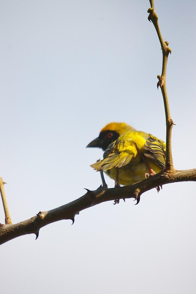Little Bird by Deidre Cripwell