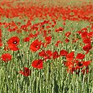 Poppy fields forever by Heather Thorsen