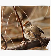 White-Crowned Sparrow - Backward  Poster