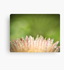 Dew on striped cactus flower abstract Canvas Print