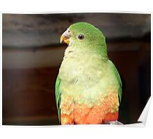 Are You Sure About That? - Female King Parrot - NZ Poster