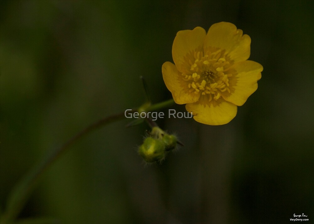 Meadow Buttercup - Burntollet Woods, County Derry by George Row