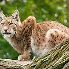 Lynx by Dominika Aniola