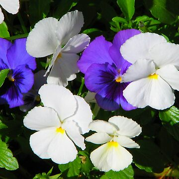 Pansies by carpenter777