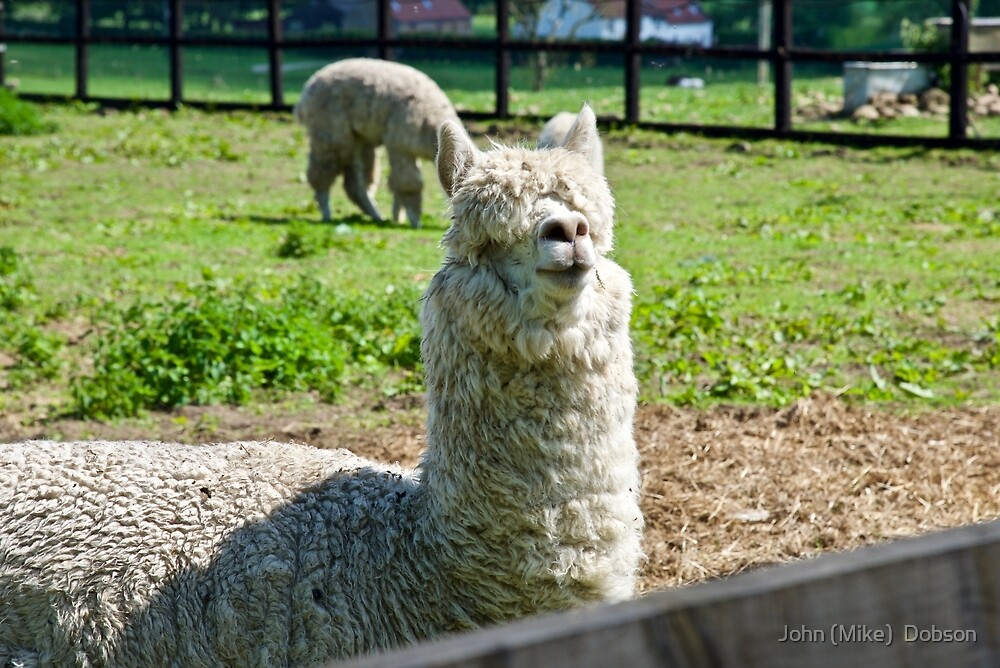 Alpaca by John (Mike)  Dobson