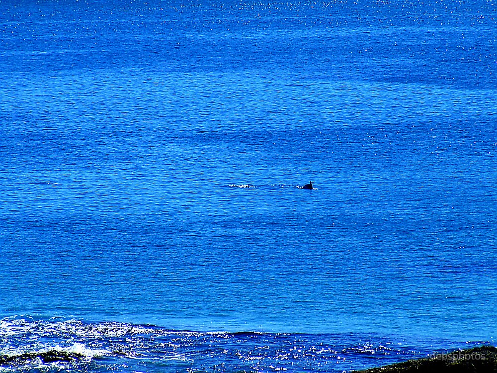 Distant Diving Dolphins......... by debsphotos