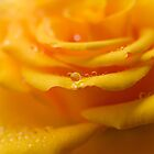 Water Drops on Yellow Rose by Tamara Al Bahri