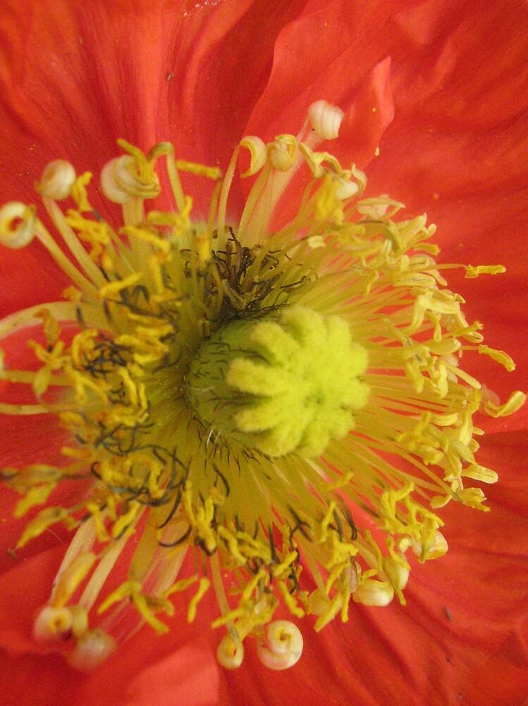 Orange Poppy by Patricia  Knowles
