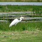 Egret Fishing by Diane Arndt