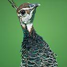 Peacock by Kasia Nowak