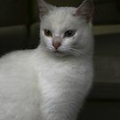 Witje adorable white cat by patjila