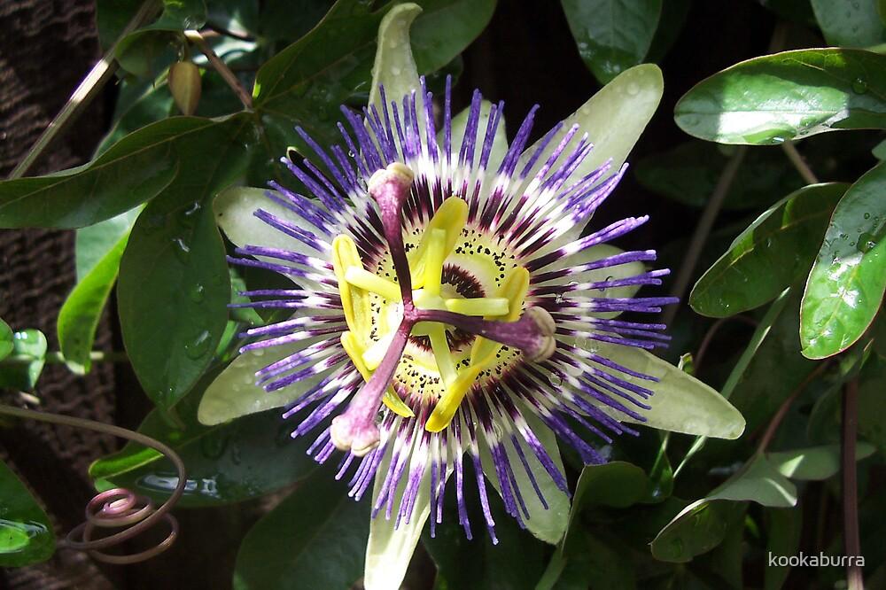Passion Flower by kookaburra