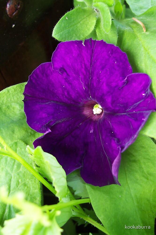 Purple Petunia by kookaburra