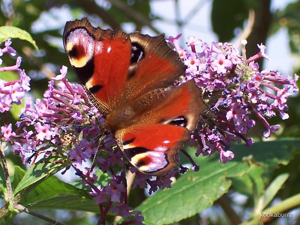 Peacock Butterfly by kookaburra