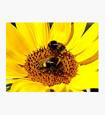 Many Hands Make Light Work!! - Bumblebees - NZ Photographic Print