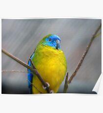 I'm Poised...I Won't Blink!!!! -Turquoise Parrot - Dunedin - Otago - NZ Poster