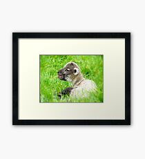 My Life Was In His Hands......Premature Lamb - NZ Framed Print