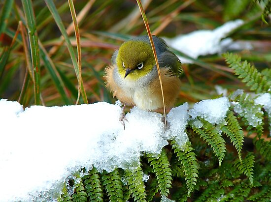 """Gosh!! How On Earth Will I """"FERNish This Place? - Silver-Eye - NZ by AndreaEL"""