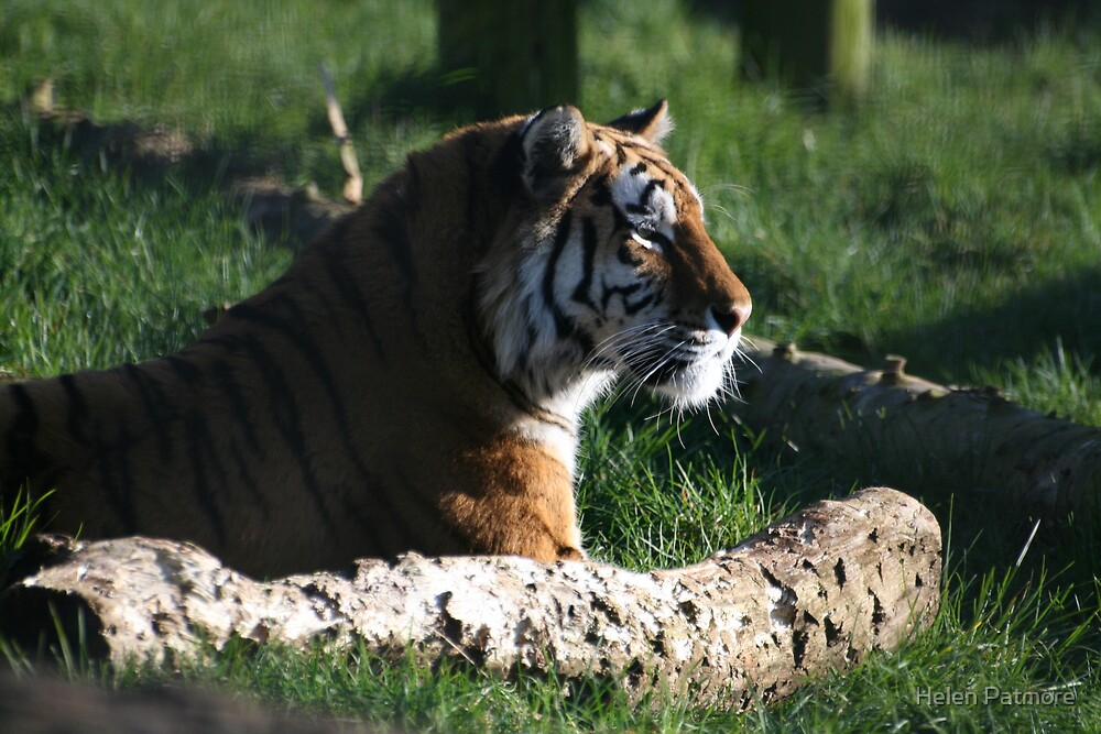 Tiger #2 by Helen Patmore