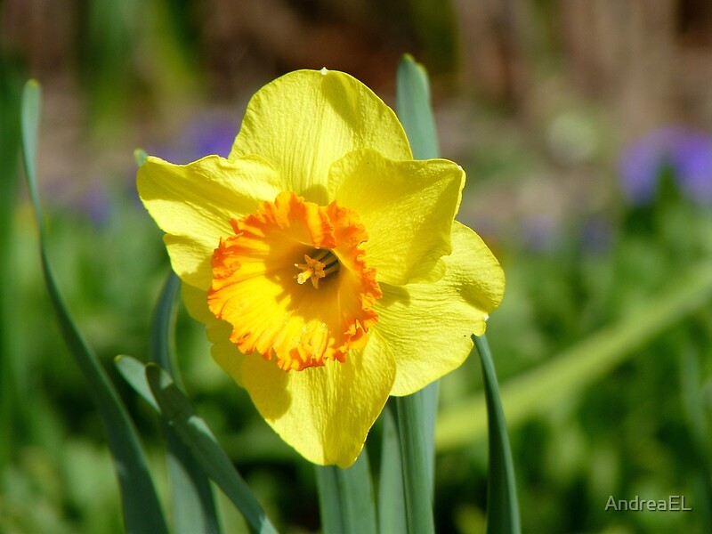 """dance and daffodils essay The early purges vs daffodils essay sample  also """"heart"""" is a very strong word, describing how his heart is full of pleasure to dance with the daffodils ."""