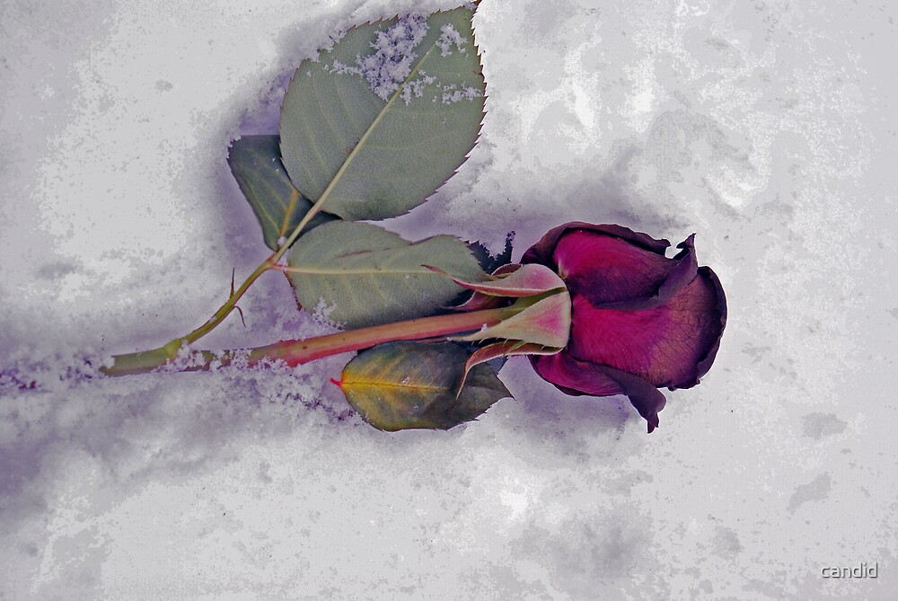 Dying Rose by candid