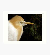 Cattle Egret. Art Print