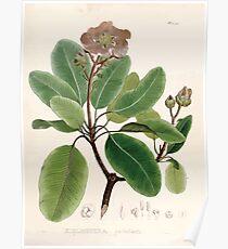 Nova genera et species plantarum V1 V3 Plates Karl Friedrich Philipp von Martius 1834 071 Poster