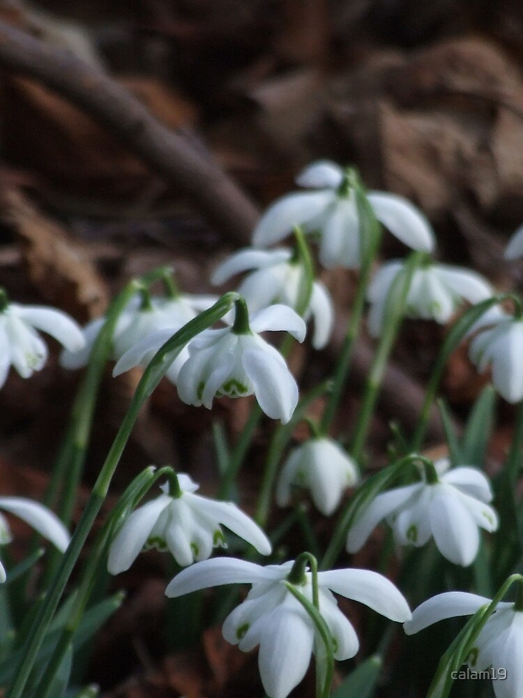 Snow drops by calam19