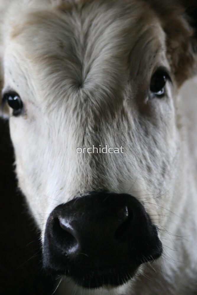 Portrait of a cow by orchidcat