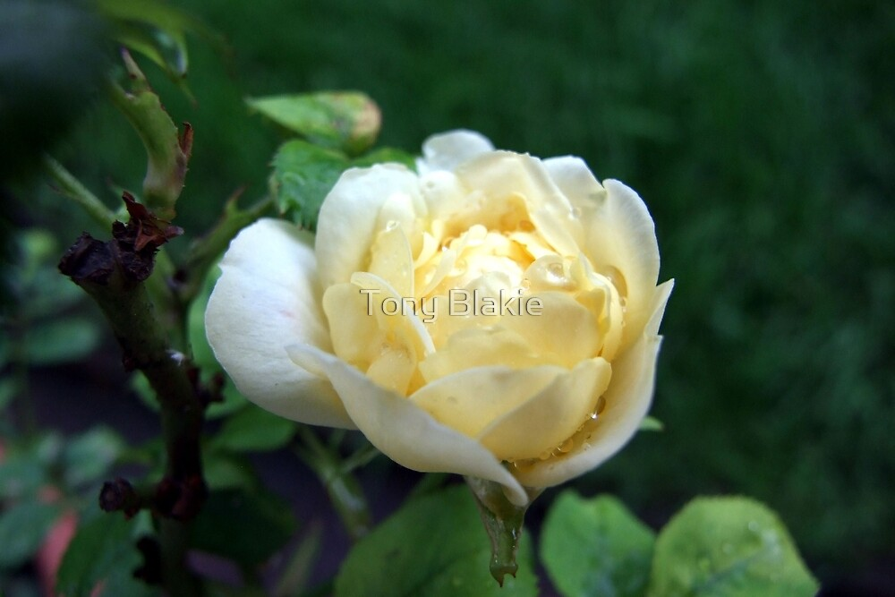 Yellow rose after the rain by Tony Blakie