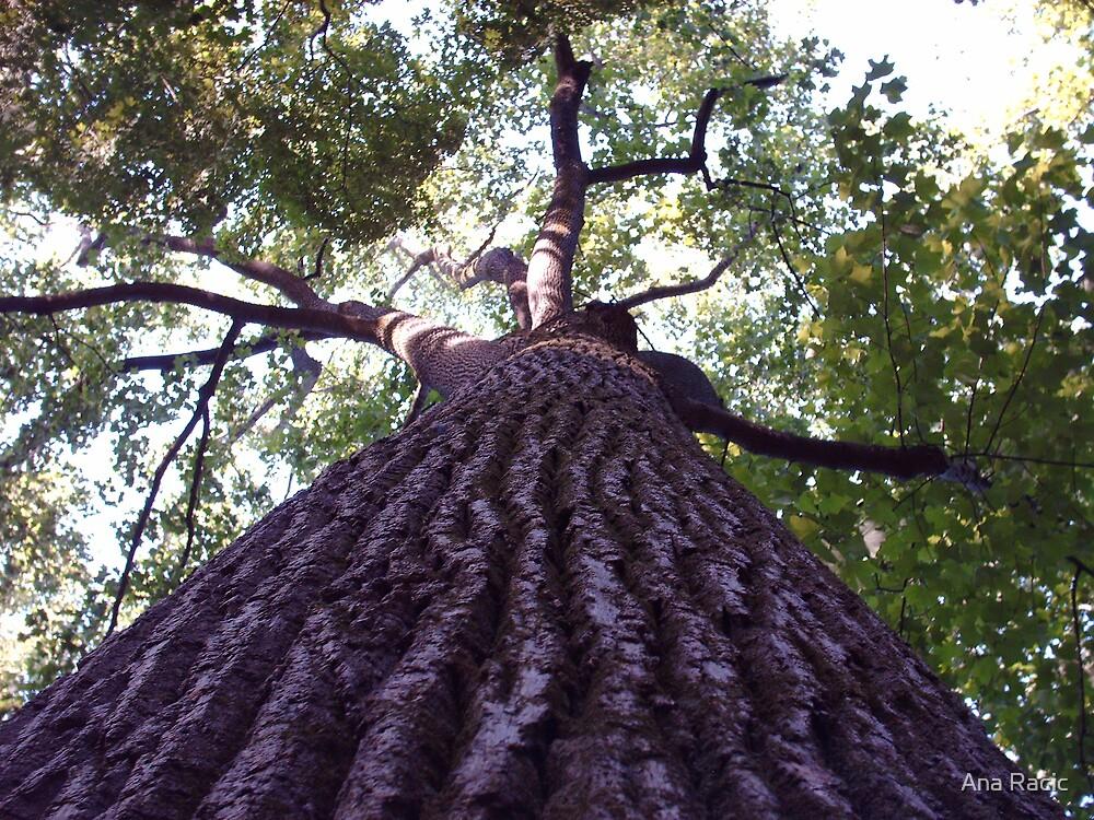 Great Grandfather Tree by Ana Racic