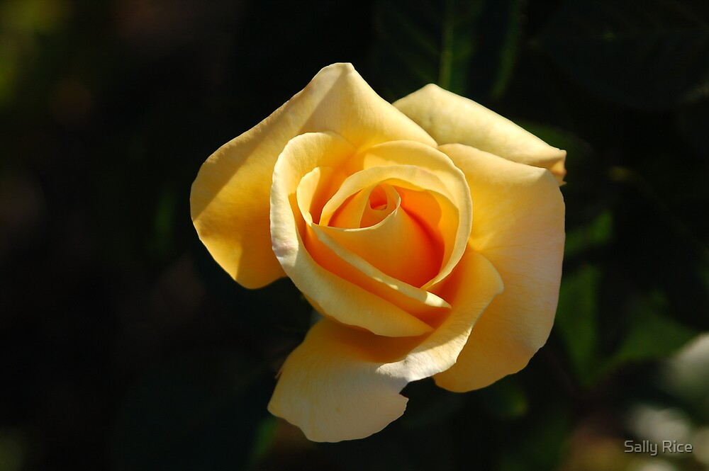 Yellow Rose by Sally Rice