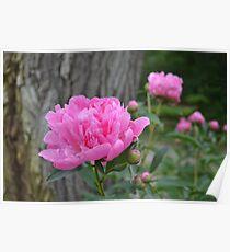 Pink Peony Garden Poster