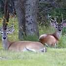 Two Young Bucks by Penny Odom