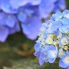 Hydrangea in June... by karink57