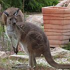 A Piece of Wire weed in her mouth! Wild Western Grey Roo in the garden.  by Rita Blom