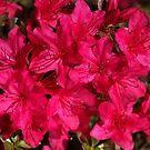 Azalea's In Hot Pink by Joy Watson