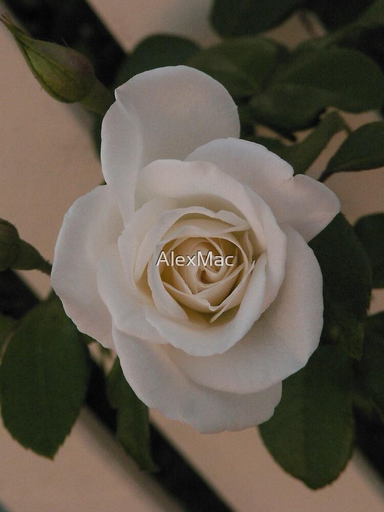 Cream Rose by AlexMac