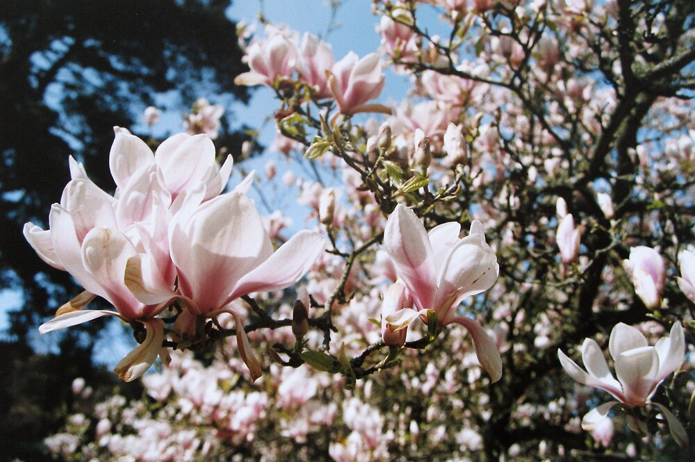 Magnolia by Mike Paget