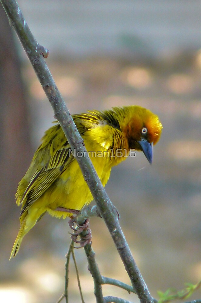 Weaver by Norman1616