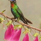 Fiery throated hummingbird by Linda Sparks