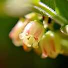 Wild Blueberry Blossoms II by Kathleen Daley