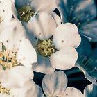 Bridal wreath flowers by Roger Porter