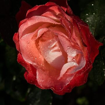 A Wonderful Cream-and-Red Rose With Dewdrops by GeorgiaM