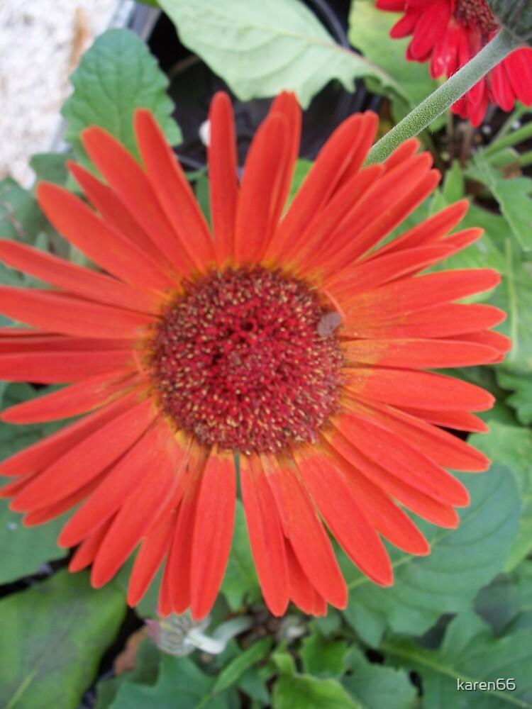 Orange Flower by karen66