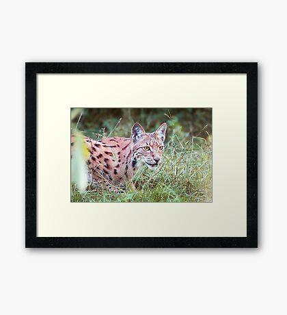 Lynx in the grass Framed Print