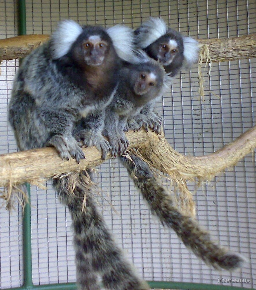 White Ear Marmoset Family by iriserasmus